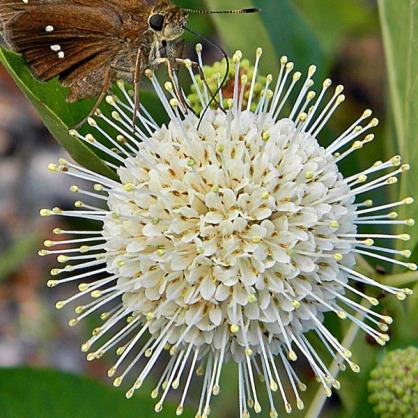 Flower of the Buttonbush