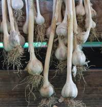 how-to-cure-garlic_1024x1024