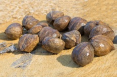 Hickory nuts before planting in the forest lie on a tree