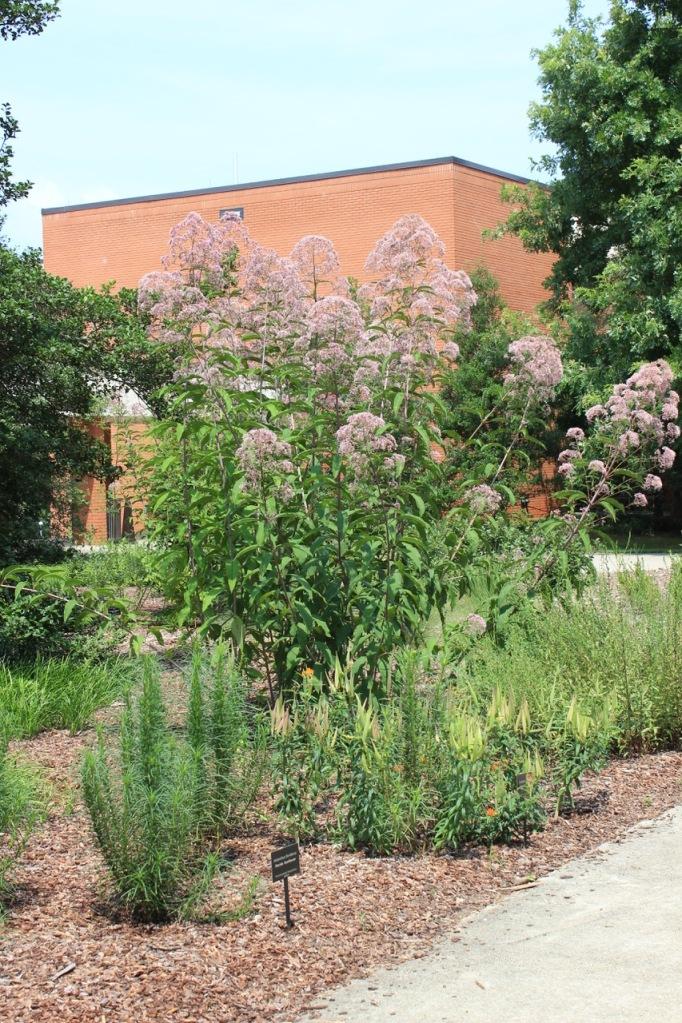 photo of Eutrochium purpureum