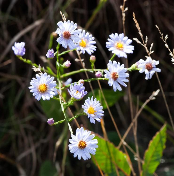 photo of sky-blue aster / Symphyotrichum oolentangiense